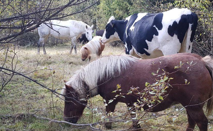 Kvigan Hilda trivs bra bland hästarna i hagen. Foto: Privat
